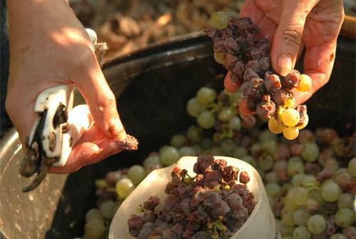 葡萄酒种植条件